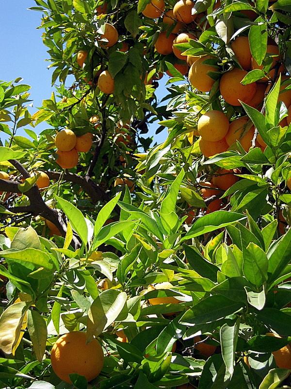 succulent blood oranges
