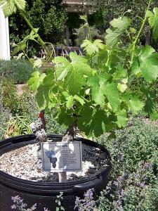 a young syrah vine
