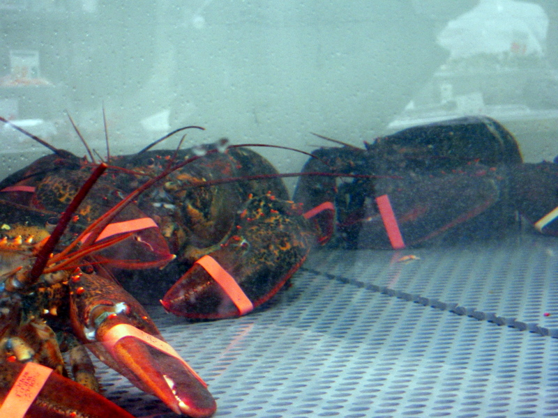 beautiful live lobsters at Sun Fat