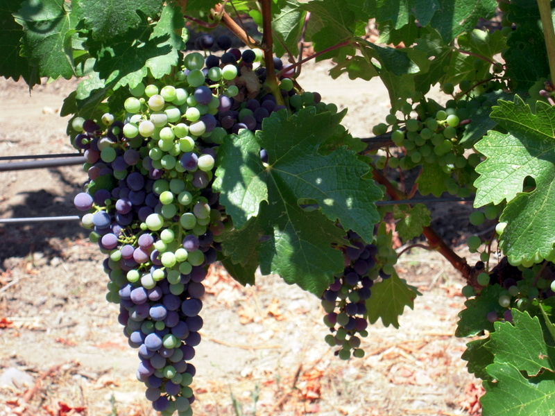 Heitz grapes on the vine late July