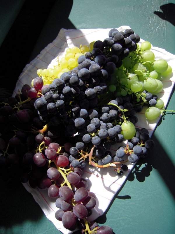 selection of grapes right off the vine
