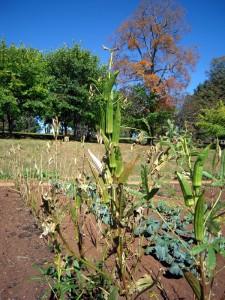 okra at Jefferson's garden