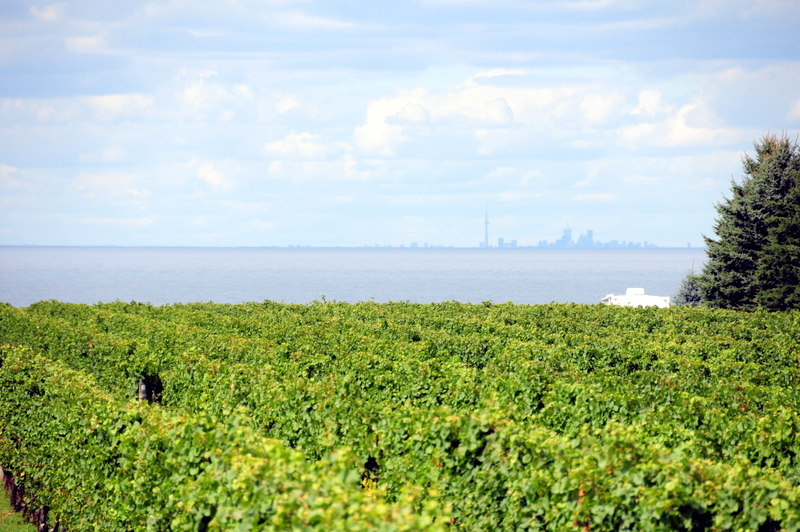 Konzelmann Estate Winery vineyard with a view of Lake Ontario and Toronto in the background
