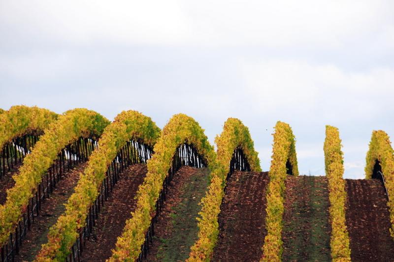 Williams Selyem estate vineyard