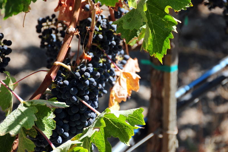 some grapes on the vine at Shafer