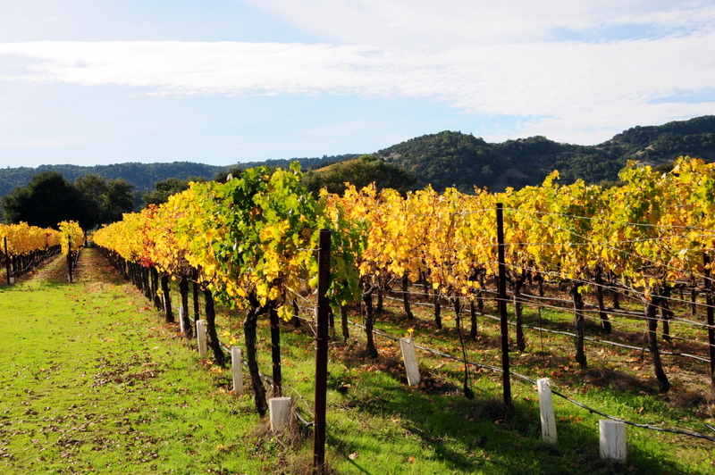 more colorful grapevines at Trefethen