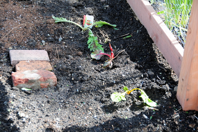 our droopy, rather sad-looking Swiss chard and artichoke plantings