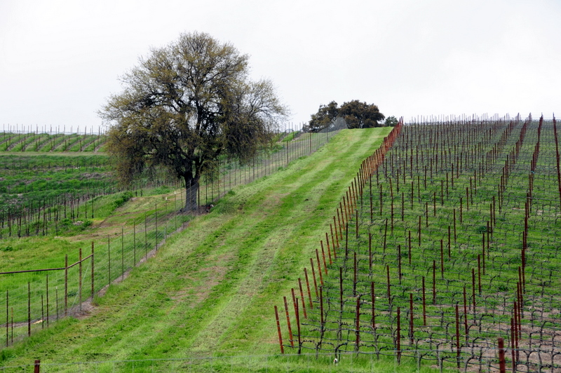 a hilly Caliza vineyard on an overcast day