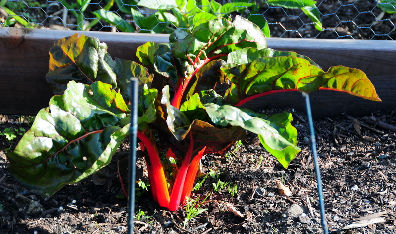 one of the Swiss chard plants in my community garden plot