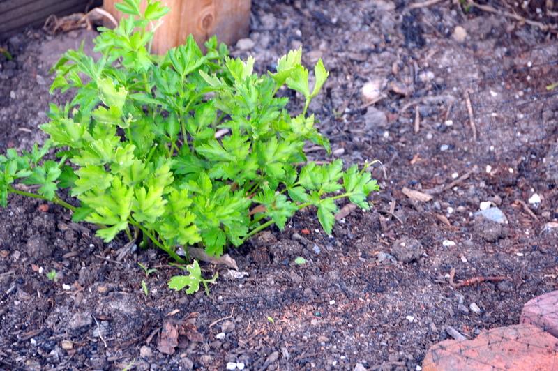 ...so has the Italian parsley
