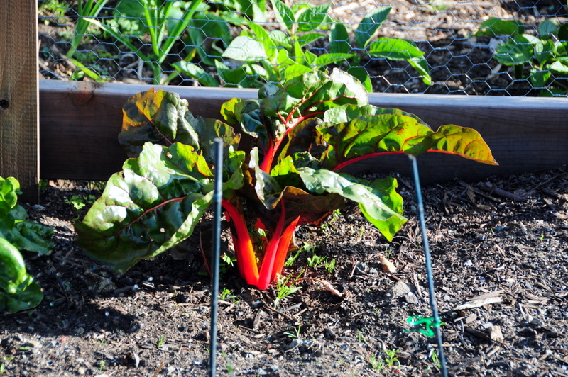 the Swiss chard have taken well to the plot...
