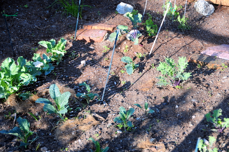 the various greens from the cabbage family are really starting to grow