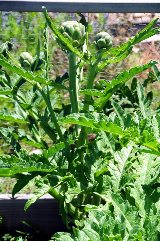 artichoke plants with chokes