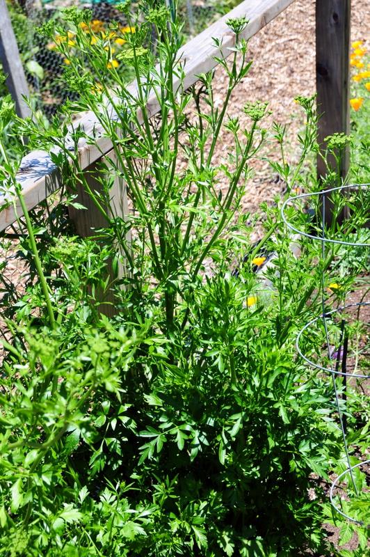 huge parsley plant