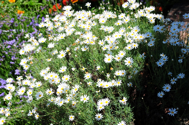cheery daisies seeking the sunshine
