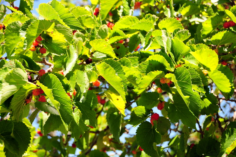 close up of a mulberry tree in the Fruit Garden