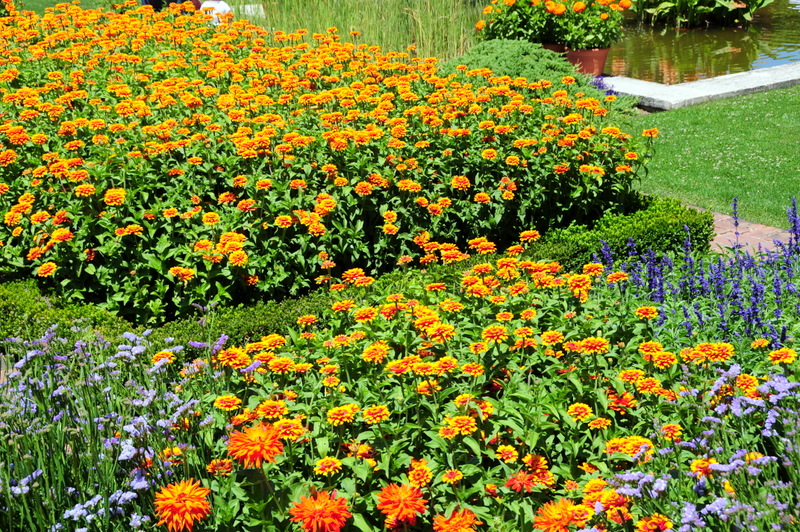 eye catching zinnias