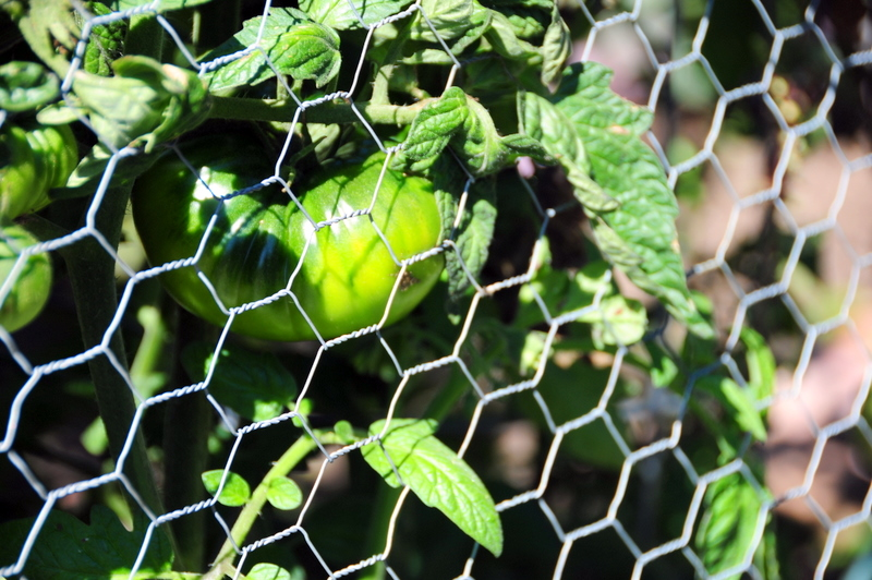 close up of one of the larger albeit still green tomatoes