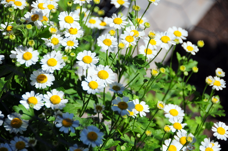 our garden plot neighbor thinks these little flowers are chamomile