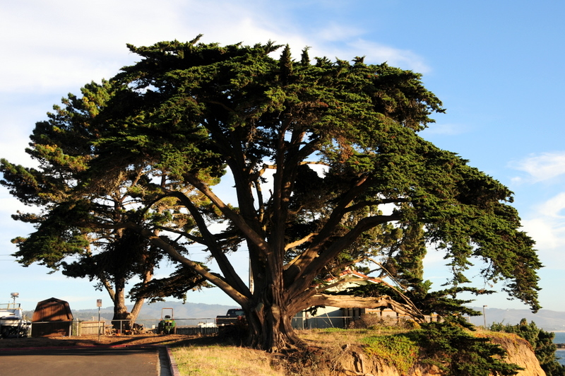 a grand and very sculptural Monterrey Cypress