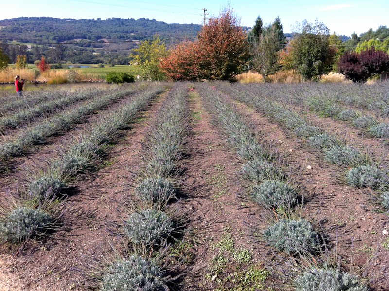 baby lavender field