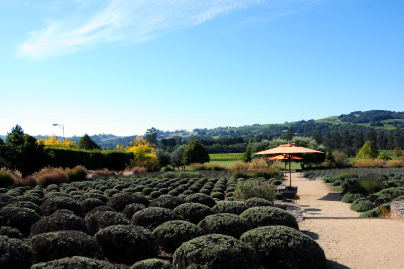 the magnificent Lavender Garden at Matanzas Creek Winery