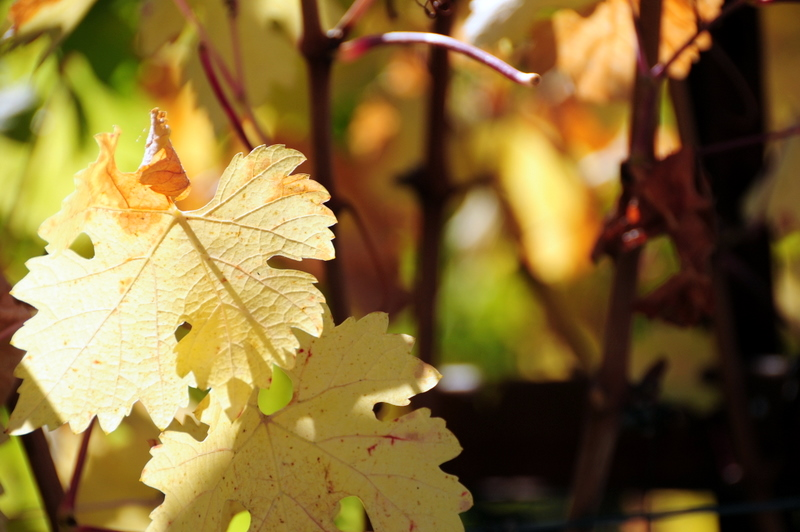 close up of fall grapevines