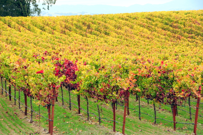 it really feels like fall with the drizzle, chill and reds and yellows on the vines