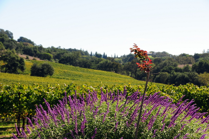 see the gentle vine-covered  slopes at Hanna Winery and Vineyards
