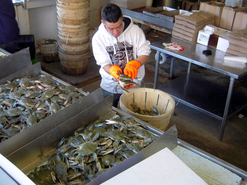 busy at work cleaning crab
