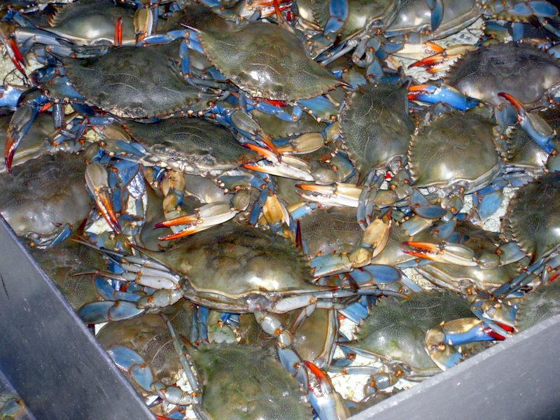 frisky blue crabs