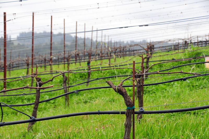 Littorai uses the cane method of pruning their vines
