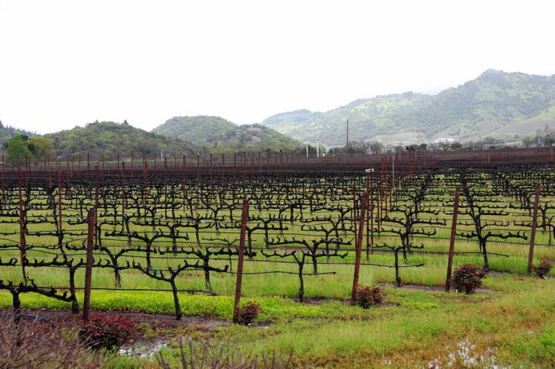 a wet vineyard in springtime at Clos du Val
