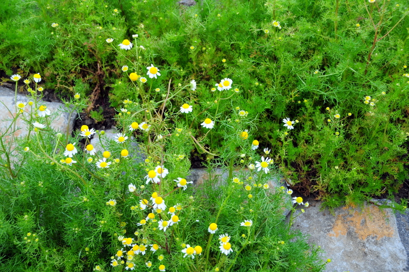 the chamomile flowers were marvelously aromatic