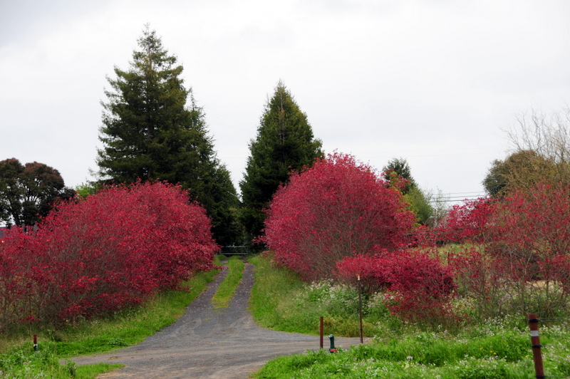 the red trees seemed so cheery and welcoming on this overcast day