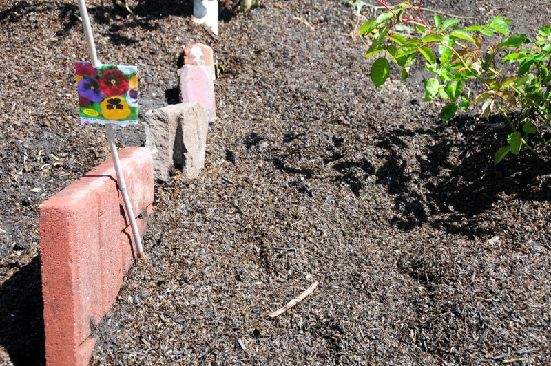 here I planted the edible pansies