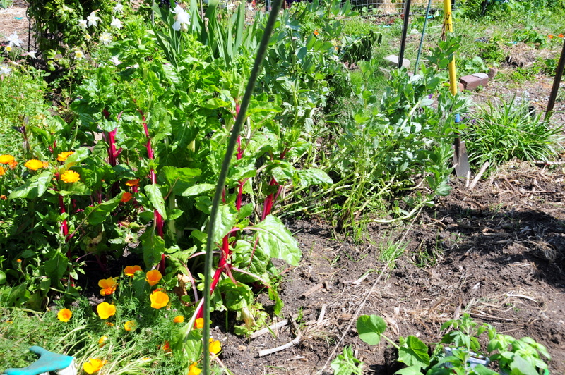 the Swiss chard and flowers came with the plot--it even has some fava