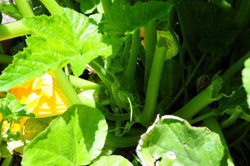 one of our summer squash plants with flowers and shoots