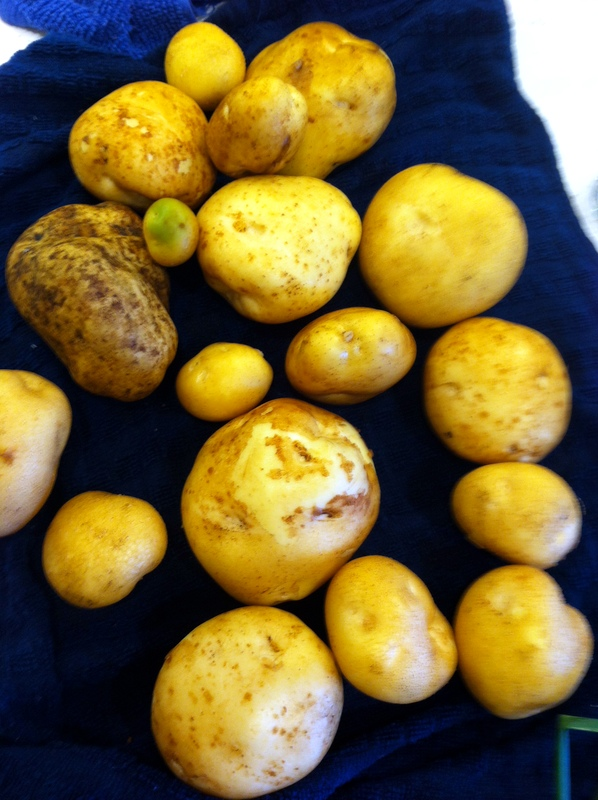 Yukon gold potatoes harvested from our community garden plot