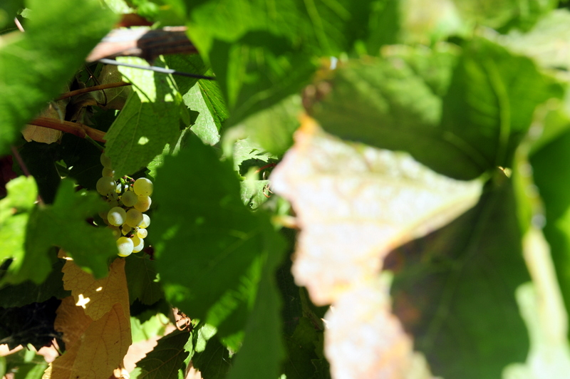 a lone cluster of Hanzell chardonnay grapes on the vine