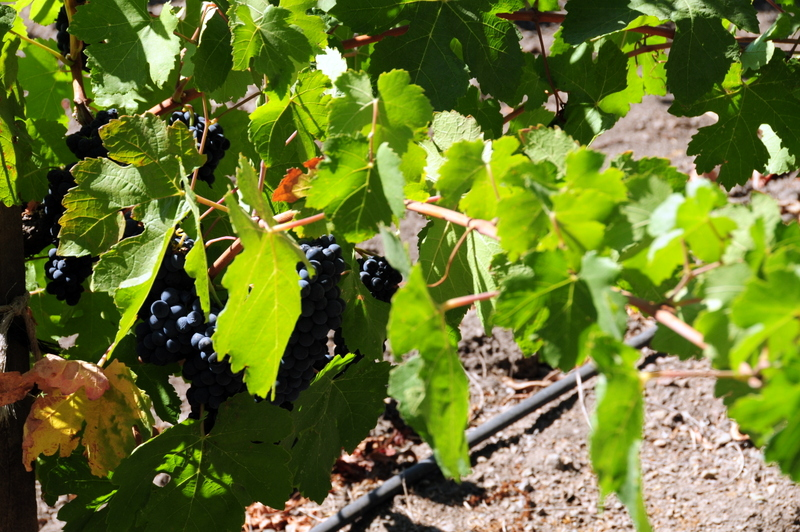 harvest was just starting during our visit to Quixote so we got to see the ripe grapes hanging on the vine