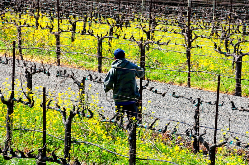 a winery worker pruning the dormant grapevines