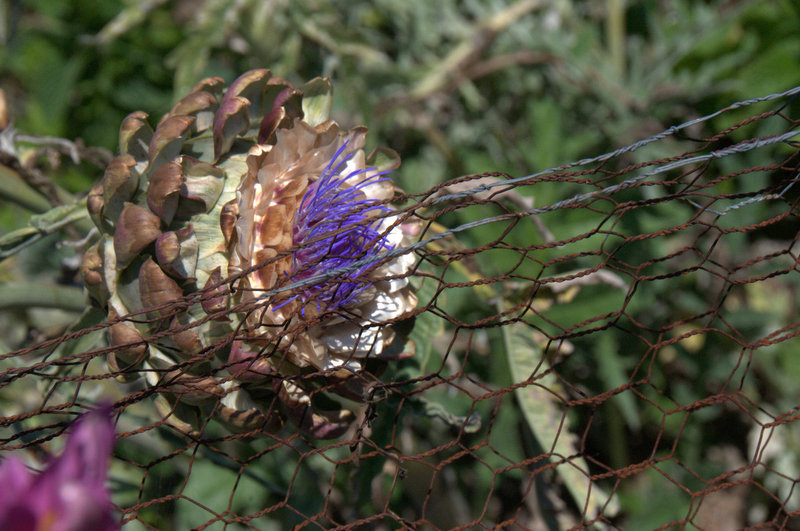 Artichoke flowering